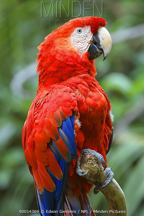 Scarlet Macaw (Ara macao), Costa Rica,  -  Edwin Giesbers/ npl