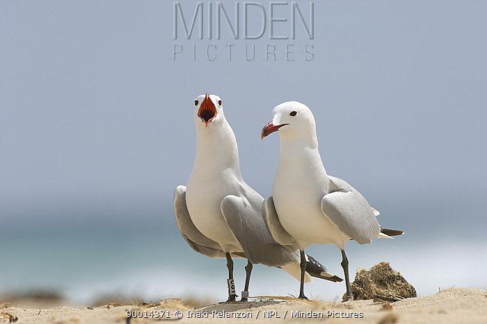 Audouin's Gull (Larus audouinii) pair, one calling, Menorca, Balearic Islands, Spain  -  Inaki Relanzon/ npl
