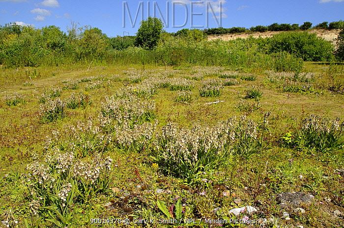 Marsh Helleborine (Epipactis palustris) flowering in disused quarry, Norfolk, UK, July  -  Gary K. Smith/ npl