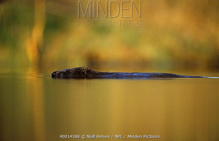 European Beaver (Castor fiber) swimming in calm waters, Talsu rajons, Latvia  -  Niall Benvie/ npl