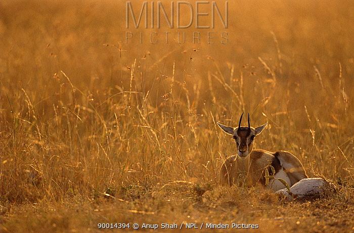 Thomson's Gazelle (Gazella thomsoni) Masai Mara reserve, Kenya  -  Anup Shah/ npl
