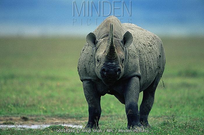 Black Rhinoceros (Diceros bicornis) Ngorongoro crater, Tanzania  -  Anup Shah/ npl