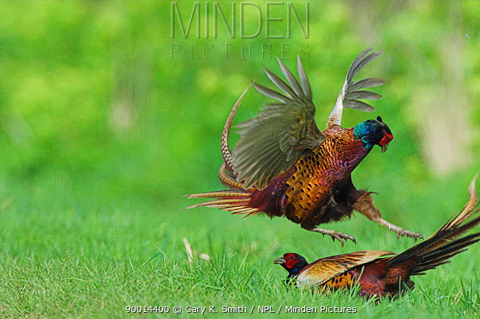 Ring-necked Pheasant (Phasianus colchicus) adult males fighting over territory, Norfolk, United Kingdom  -  Gary K. Smith/ npl