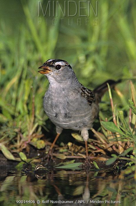 White-crowned Sparrow (Zonotrichia leucophrys) drinking, Welder Wildlife Refuge, Sinton, Texas  -  Rolf Nussbaumer/ npl