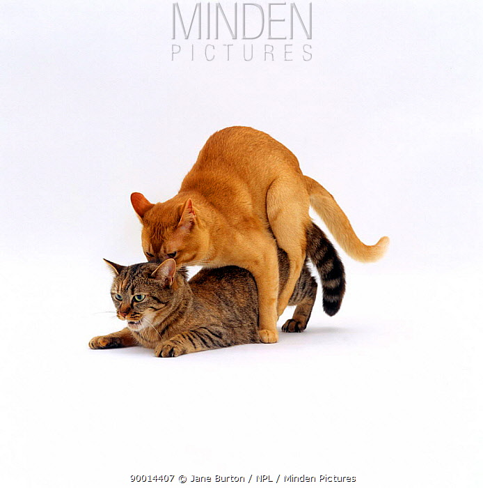 Domestic Cat (Felis catus), red burmese male 'Ozzie' holds female tabby 'Dainty' by scruff of her neck while mating, mating sequence 5, 7  -  Jane Burton/ npl