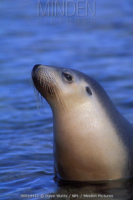 Australian Sea Lion (Neophoca cinerea) head above sea surface, South Australia  -  Dave Watts/ npl