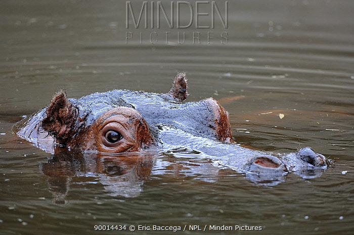 Hippopotamus (Hippopotamus amphibius) head at water surface,  -  Eric Baccega/ npl