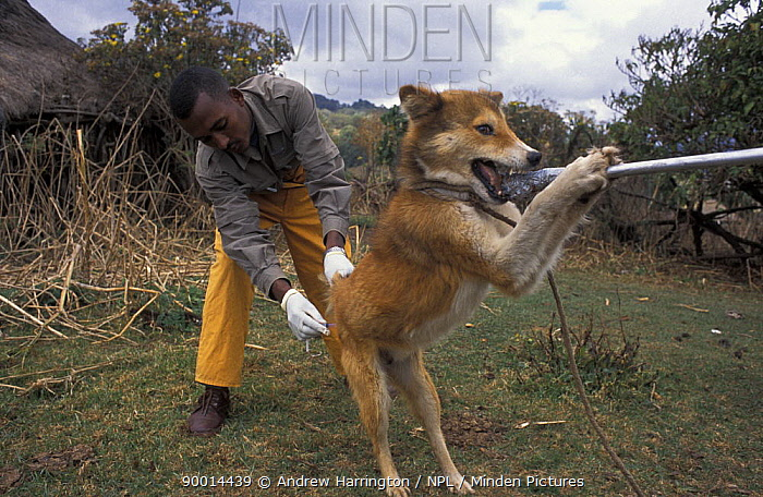 Dog being vaccinated against rabies to protect the Simien jackal, Ethiopian wolf population, Bale Mountains, Ethiopia  -  Andrew Harrington/ npl