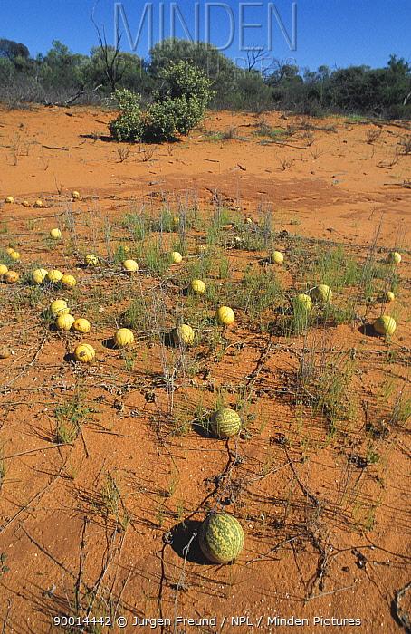 Desert melons (Citrullus colocynthis) growing beside Shark Bay side road, Western Australia  -  Jurgen Freund/ npl