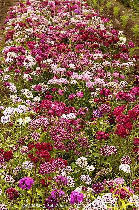 Sweet William (Dianthus barbatus) flowering in garden, UK  -  Rob Cousins/ npl