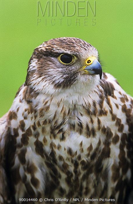 Saker Falcon (Falco cherrug) year-old captive male at Falconry Centre in Derbyshire, United Kingdom  -  Chris O'Reilly/ npl