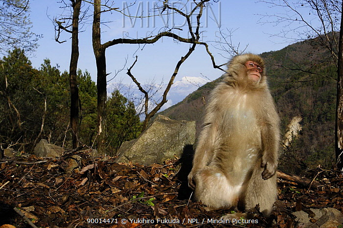 Japanese Macaque (Macaca fuscata) basking in the sun in spring, Jigokudani, Nagano, Japan  -  Yukihiro Fukuda/ npl