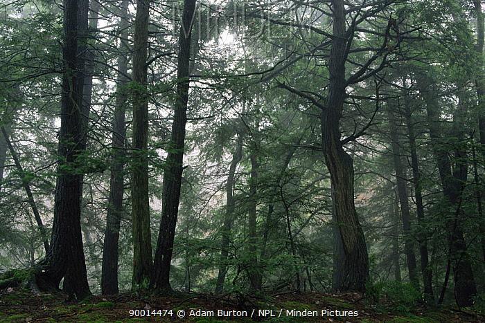 Misty forest, Massachusetts, USA  -  Adam Burton/ npl