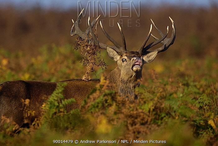 Red deer (Cervus elaphus) adult male in autumnal bracken, flehmen response as it detects an interesting scent during the October rut Leicestershire, UK  -  Andrew Parkinson/ npl