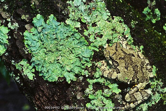Gray Tree Frog (Hyla versicolor) camouflaged on lichen, North Carolina  -  Todd Pusser/ npl