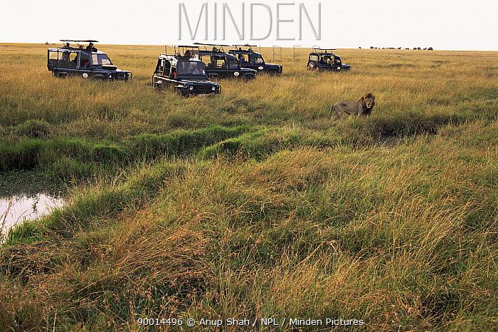 African Lion (Panthera leo) watched by tourists Masai Mara reserve, Kenya  -  Anup Shah/ npl