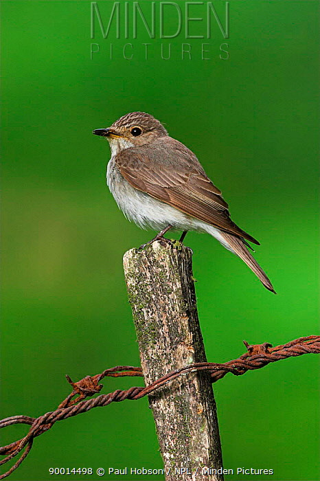 Spotted Flycatcher (Muscicapa striata) perched on fence post with rusty wire, Peak District, United Kingdom  -  Paul Hobson/ npl