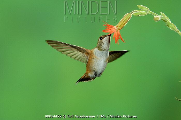 Rufous Hummingbird (Selasphorus rufus) immature feeding on Scarlet Gilia (Gilia aggregata) Paradise, Chiricahua Mountains, Arizona  -  Rolf Nussbaumer/ npl