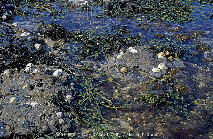 Wrack and Limpets (Patella sp) exposed at low tide, UK  -  Gary K. Smith/ npl