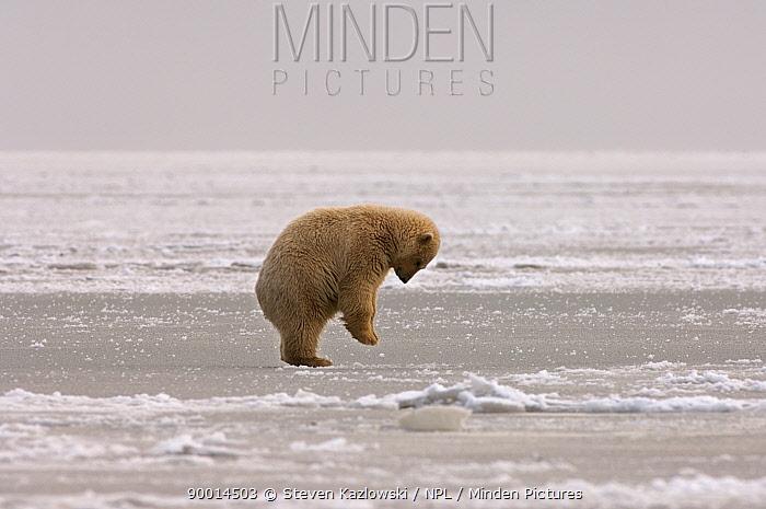Polar Bear (Ursus maritimus) cub jumping, trying to break a hole in pack ice, Coastal plain of the Arctic National Wildlife Refuge, Alaska  -  Steven Kazlowski/ npl