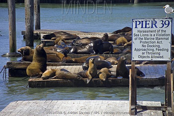 California Sea Lion (Zalophus californianus) basking on pier 39, San Francisco, California  -  Adrian Davies/ npl