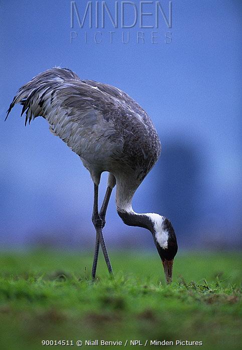 Common Crane (Grus grus) feeding at overwintering grounds Lake Agmon, Hula Valley, Israel  -  Niall Benvie/ npl