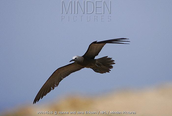 Brown Noddy (Anous stolidus) in flight, Daymaniyats, Oman  -  Hanne & Jens Eriksen/ npl