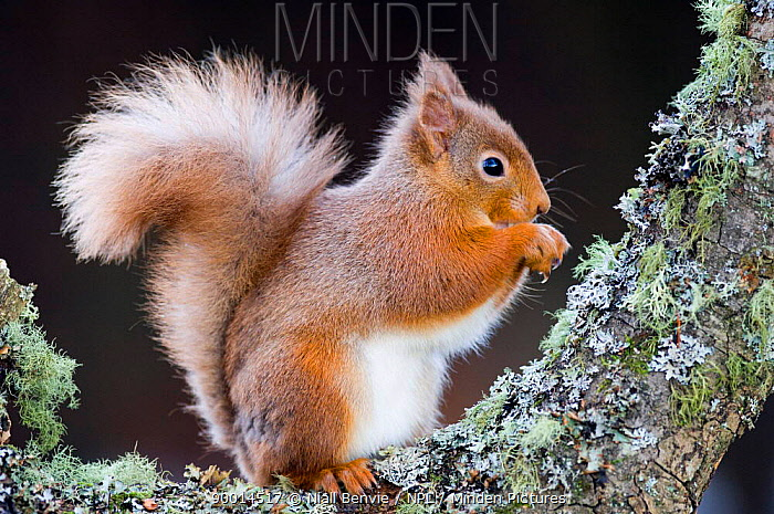 Eurasian Red Squirrel (Sciurus vulgaris) profile on Alder bough, Scotland United Kingdom  -  Niall Benvie/ npl