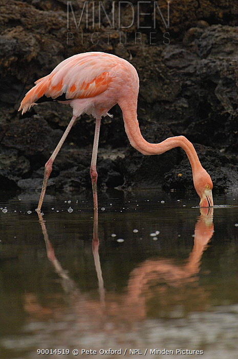 Greater Flamingo (Phoenicopterus ruber) feeding in brackish water, Cerro Dragon, Santa Cruz Is, Galapagos, Ecuador  -  Pete Oxford/ npl