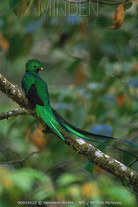 Resplendent Quetzal (Pharomachrus mocinno) male, Costa Rica  -  Hermann Brehm/ npl