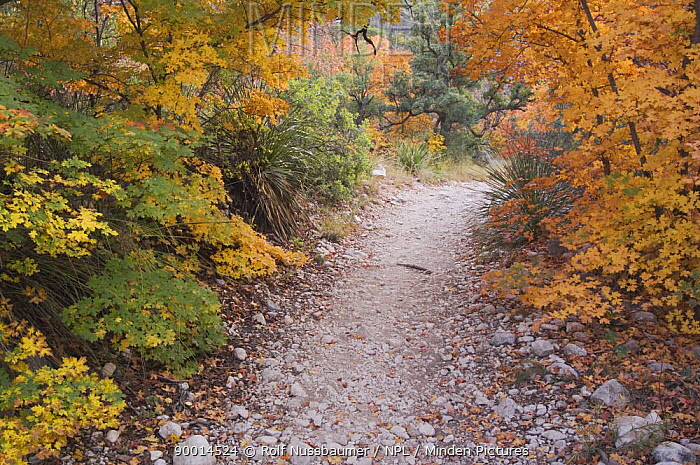 McKittrick Canyon trail and Bigtooth Maples (Acer grandidentatum) in autumn, McKittrick Canyon, Guadalupe Mountains National Park, Texas, USA, November 2005  -  Rolf Nussbaumer/ npl