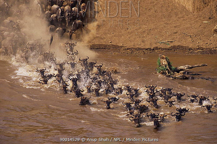 Blue Wildebeest (Connochaetes taurinus) crossing Mara River on migration, Masai Mara GR, Kenya  -  Anup Shah/ npl