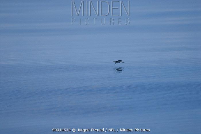 Flying fish, Australia  -  Jurgen Freund/ npl