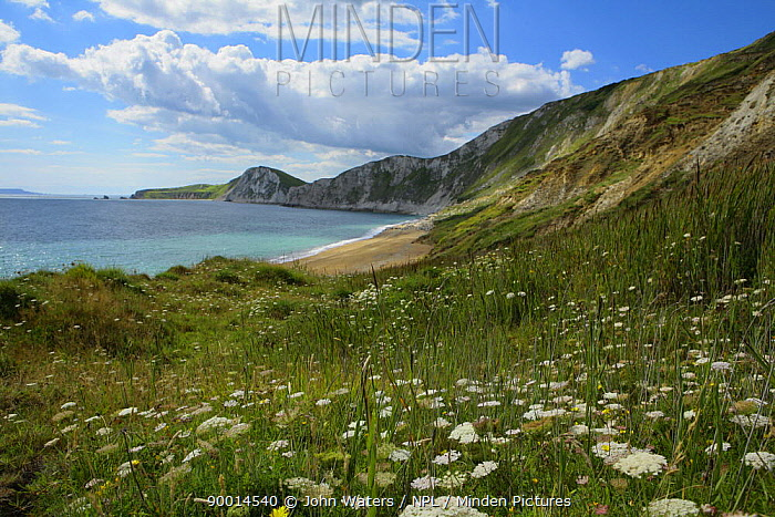 Worbarrow Bay, with grassland in foreground, dominated by Wild carrot (Daucus carota) Dorset, UK, 2007  -  John Waters/ npl