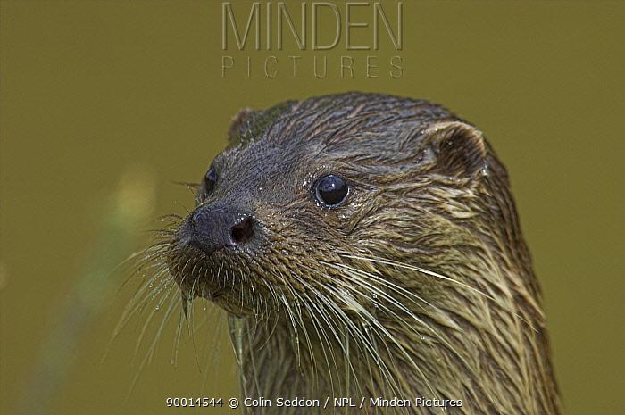 European River Otter (Lutra lutra) head portrait, captive, United Kingdom  -  Colin Seddon/ npl