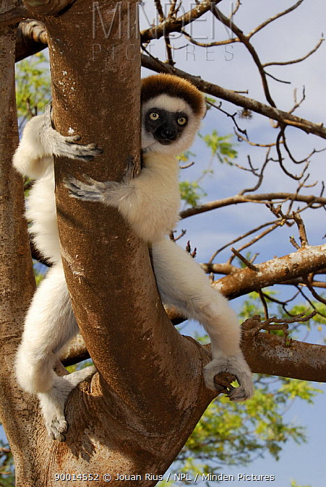 Verreaux's Sifaka (Propithecus verreauxi) in tree, dry forest of Berenty reserve, Madagascar South  -  Jouan & Rius/ npl