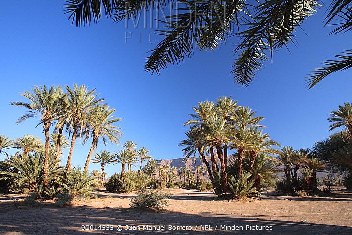 Palm trees in the Dr?a valley, Morocco December 2007  -  Juan Manuel Borrero/ npl