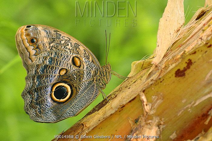 Owl Butterfly (Caligo memnon) on wood, Costa Rica  -  Edwin Giesbers/ npl