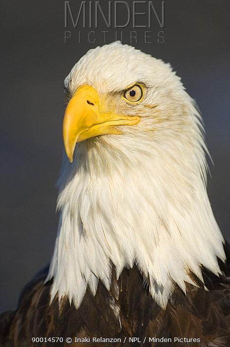 Bald Eagle (Haliaeetus leucocephalus) head portrait, Homer, Kenai Peninsula, South Alaska  -  Inaki Relanzon/ npl
