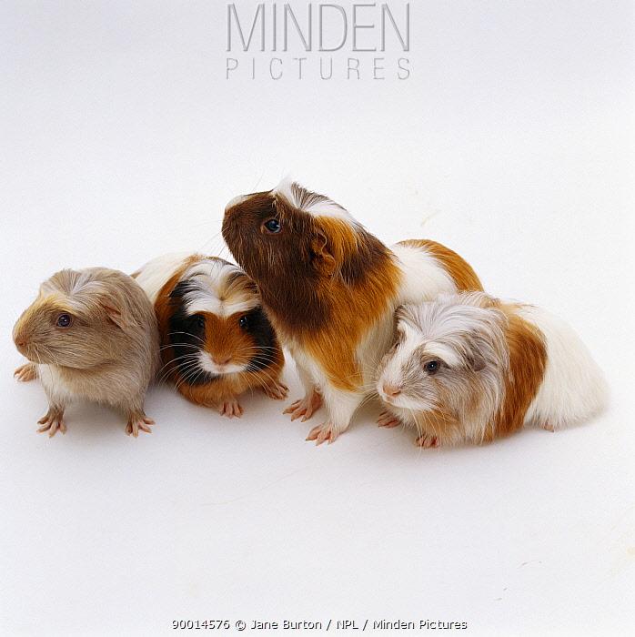 Guinea Pig (Cavia porcellus)Female Crested sheltie guinea pig with three 40-days-old babies, United Kingdom  -  Jane Burton/ npl