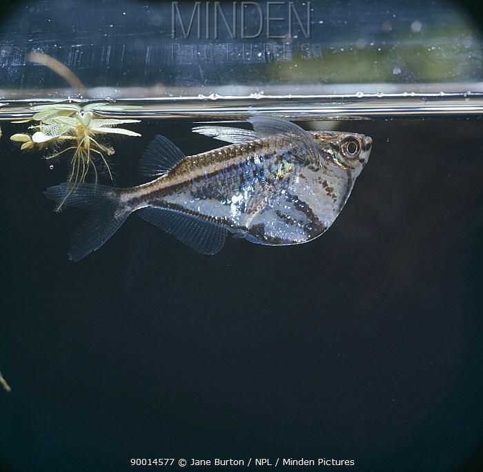 Marbled hatchetfish (Carnegiella strigata) resting at surface amongst floating water fern (Salvinia sp) captive, tropical  -  Jane Burton/ npl
