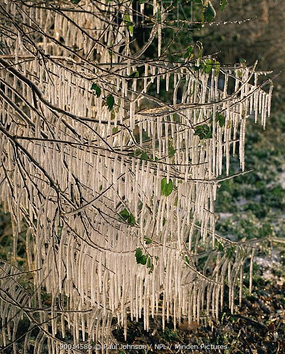 Icicles hanging from woodland tree Norfolk, UK  -  Paul Johnson/ npl