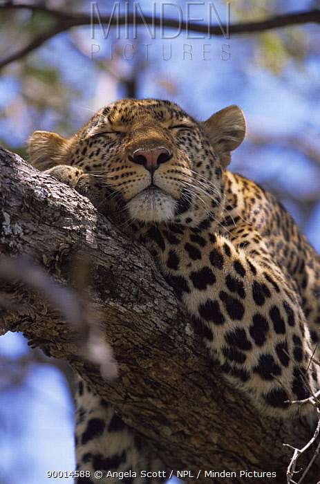 Leopard (Panthera pardus) female Shadow sleeping in tree, Big Cat Diary, Masai Mara, Kenya  -  Angela Scott/ npl