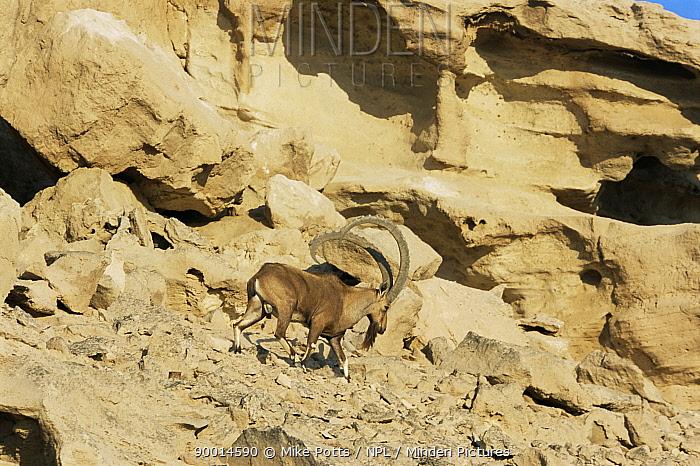 Nubian ibex (Capra ibex nubiana) Hawar Is, Bahrain  -  Mike Potts/ npl