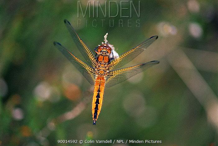 Scarce Chaser (Libellula fulva) immature male United Kingdom  -  Colin Varndell/ npl
