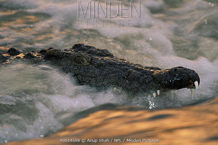 Nile Crocodile (Crocodylus niloticus) in flowing Grumeti river, Serengeti, Tanzania  -  Anup Shah/ npl
