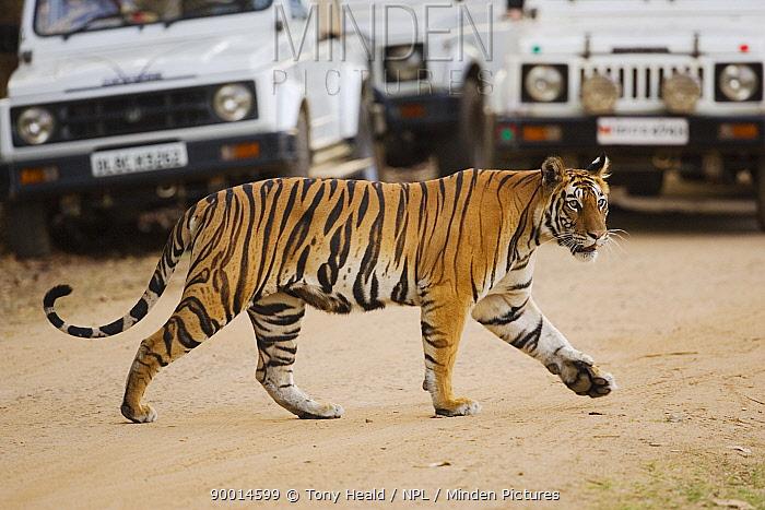 Bengal Tiger (Panthera tigris tigris) crossing road in front of tourist vehicles, Bandhavgarh National Park, India  -  Tony Heald/ npl