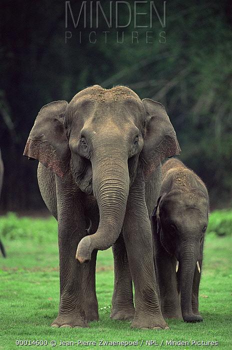 Asian Elephant (Elephas maximus) mother and young, Nagarhole National Park, Karnataka, India  -  Jean-pierre Zwaenepoel/ npl