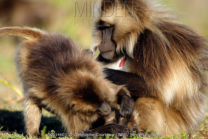 Gelada Baboon (Theropithecus gelada) mutual grooming, Simien National Park, Ethiopia, 3000m altitude  -  Christophe Courteau/ npl