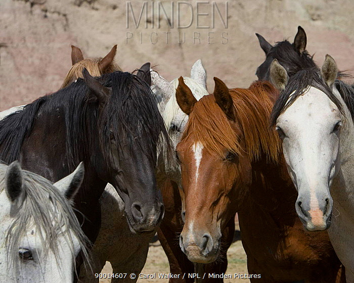 Wild horses (Equus caballus) group of stallions, Adobe Twon, Wyoming, USA  -  Carol Walker/ npl